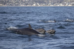 False killer whales, a tropical species rarely seen off Orange County, spotted off Newport and Laguna beaches in Southern California