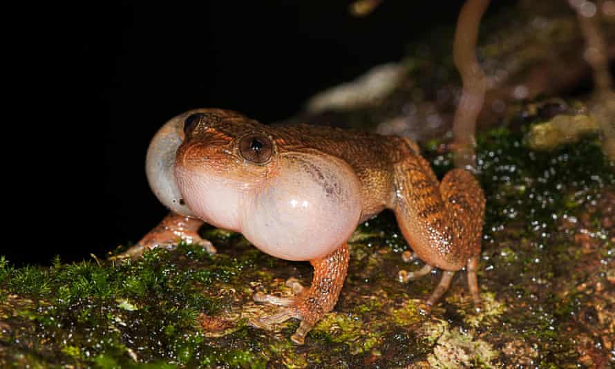 A male Bombay Night frog calling from a fallen tree trunk.