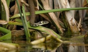 Grass snake in reeds