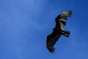 A turkey vulture, the king of scavengers, flies over Panama City, Panama