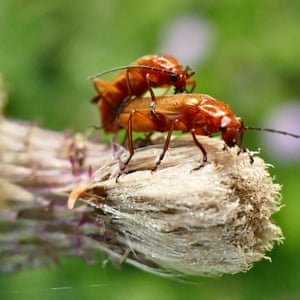 Common red soldier beetles mate on a thistle head in Dunsden, Oxfordshire, UK.