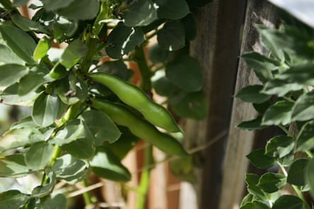 The stiff stalks of the broad beans heavy with young and tender pods.