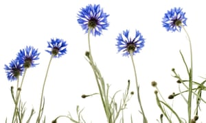 A kind of blue … cornflowers, or 'bluets' in French.