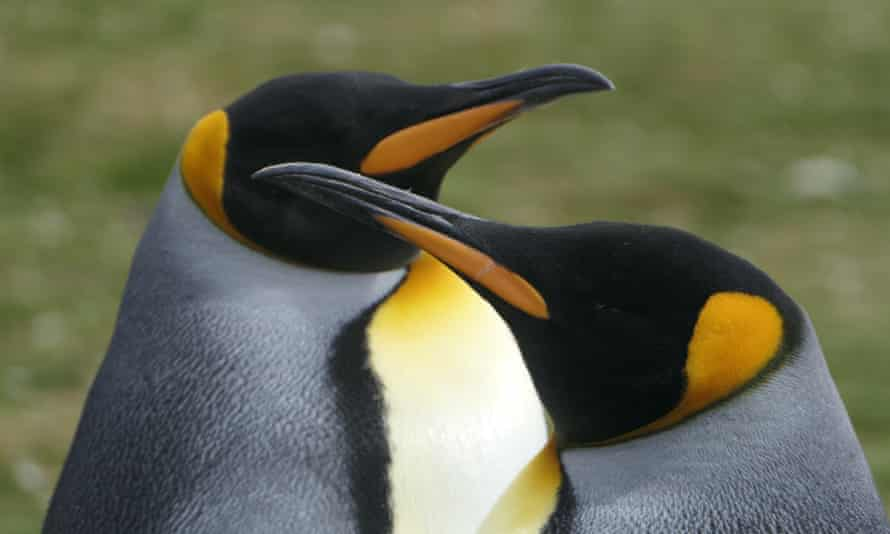 A photographer's dream – king penguins at Volunteer Point, Falkland Islands.