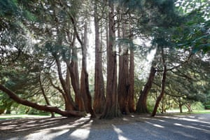 Northern Ireland's winning multi-stemmed giant sequoia in Castlewellan Forest Park