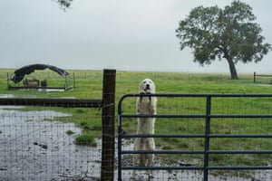 A dog looks out from behind a fence during a rain storm as Hurricane Delta approaches