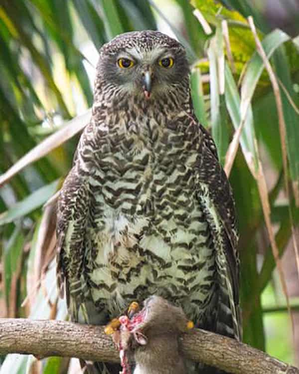 A powerful owl with a rat in Wollongong, NSW