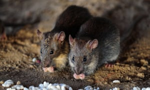The sudden drop-off in food and rubbish in our cities is exacerbating suburban rat infestations.