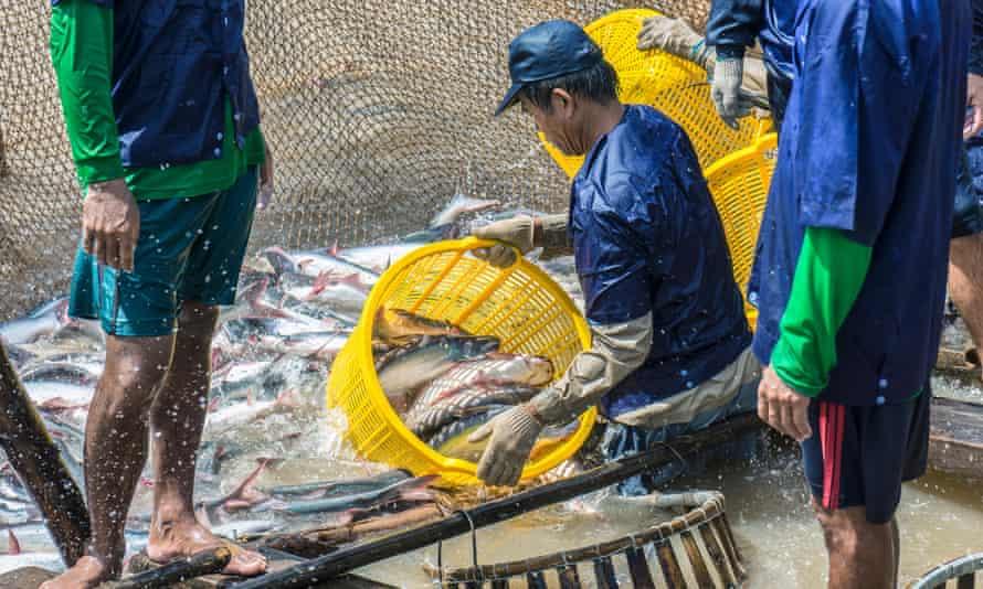 Shark catfish in Vietnam
