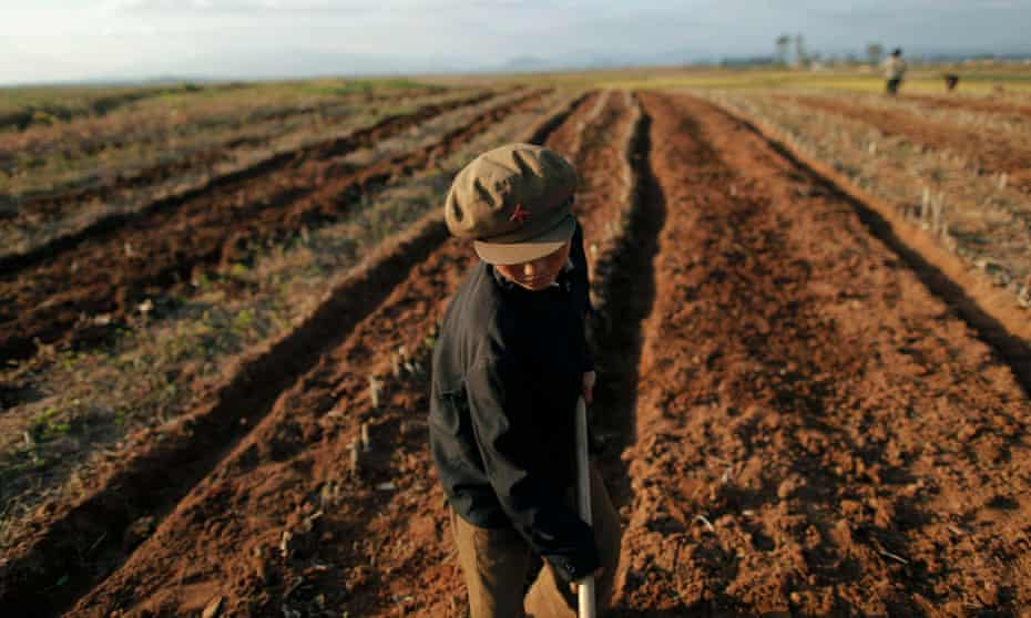 A North Korean boy works in a field of a collective farm in the South Hwanghae province. Potato, wheat and barley harvests were at risk of being cut by up to 50% in drought-hit areas.