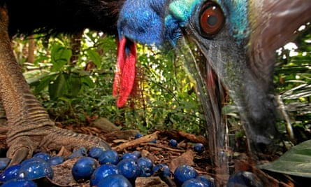 An endangered southern cassowary feeds on the fruit of the blue quandong tree. A recovery plan for the bird failed to urge any curb on land clearing to protect its habitat.