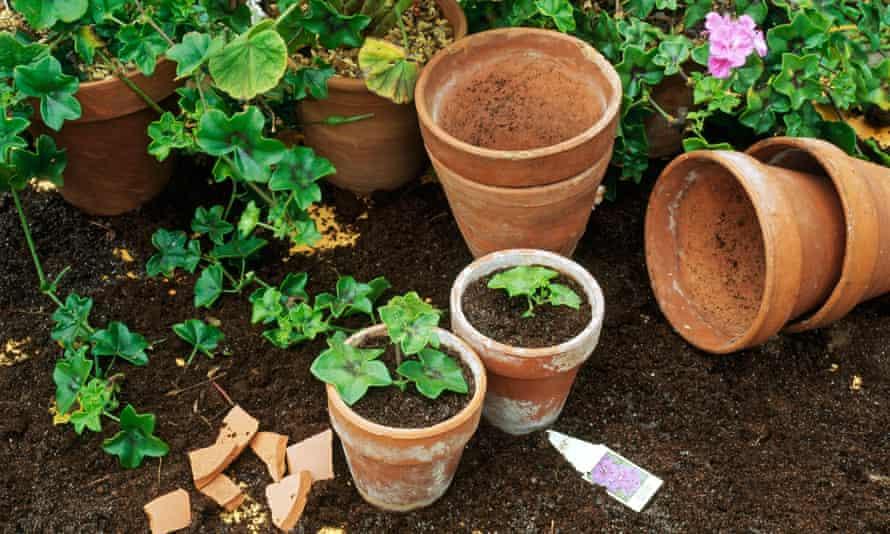 Pelargoniums are suitable for semi-ripe cuttings.