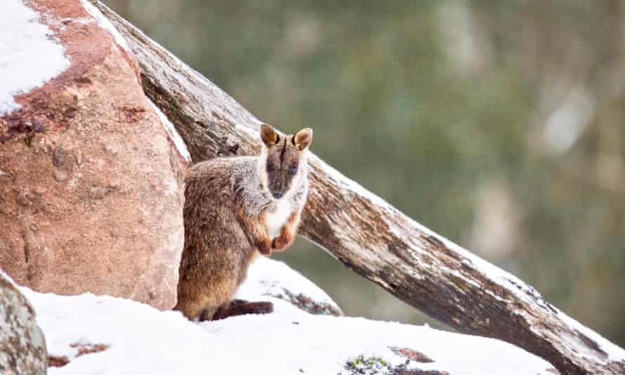 A brush-tailed rock wallaby