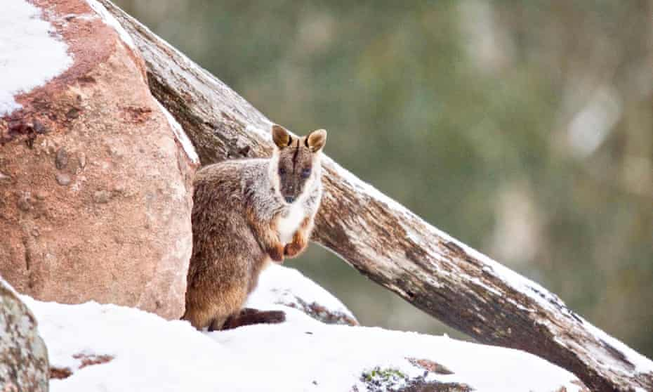 an endangered brush-tailed rock wallaby