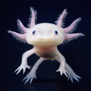 An axolotl, a type of salamander native to freshwater habitats around Mexico