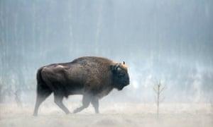 European bison in Białowieża forest.