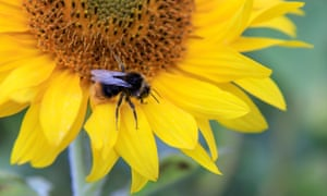 The strip-field farm has attracted at least 10 species of bee