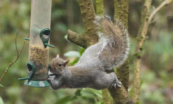 grey squirrel at bird feeder