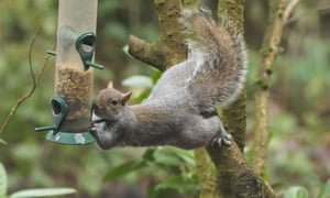 Grey squirrel stretches out from tree to bird feeder