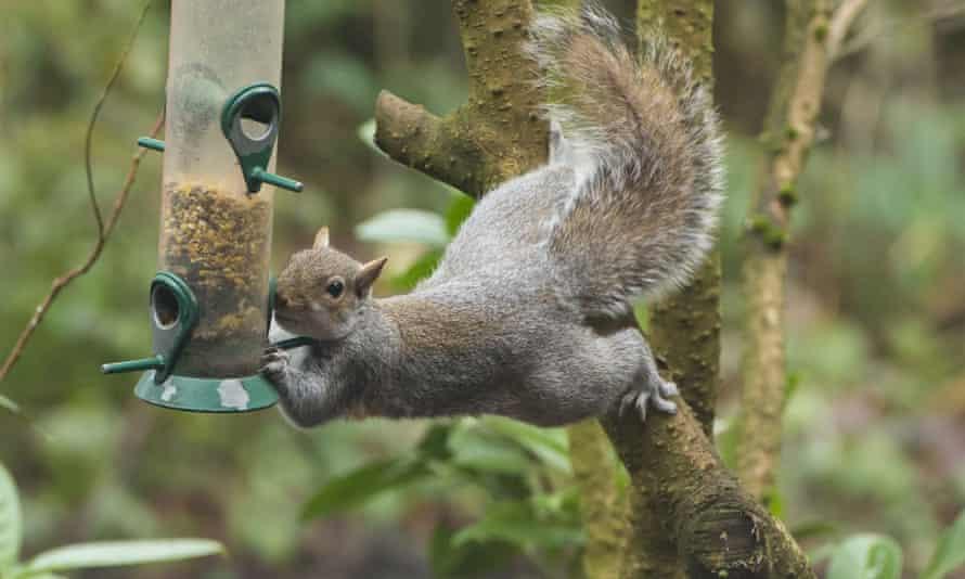 A grey squirrel tackles a garden birdfeeder