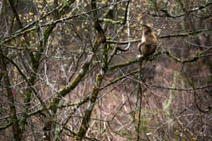 An Assam macaque (Macaca assamensis) in the forests of Trongsa, Bhutan.
