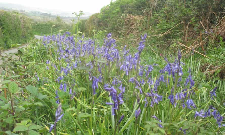 Bluebells on Summers Lane, Tamar valley.