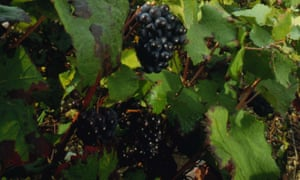 The darker the berry: pinot noir grapes, which thrive in Burgundy, Champagne – and Tasmania.