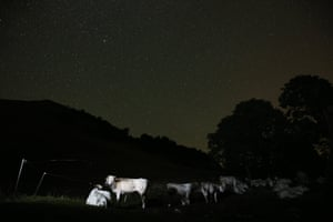 Monviso Alps, Italy Cows stand in a field during the annual Perseid meteor shower in the village of Crissolo, near Cuneo
