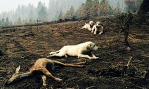 A sheep dog and her two pups protect a dead fawn, killed when fire swept through Kamiah, Idaho. The group of fires near Kamiah, in northern Idaho, has destroyed more than 40 homes.
