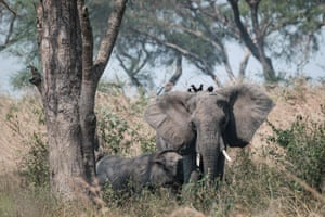 African elephants in the Murchison Falls national park, north-west Uganda.