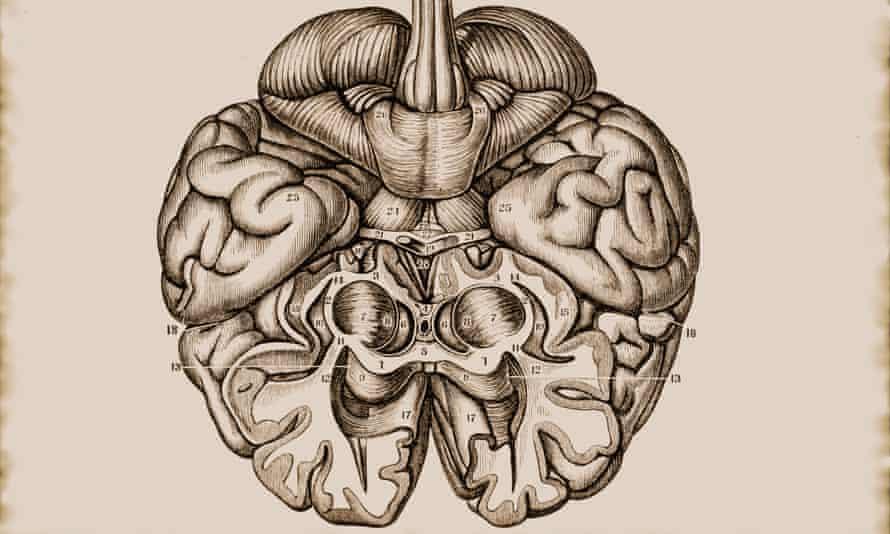 Illustration of the cerebrum brain hemisphere