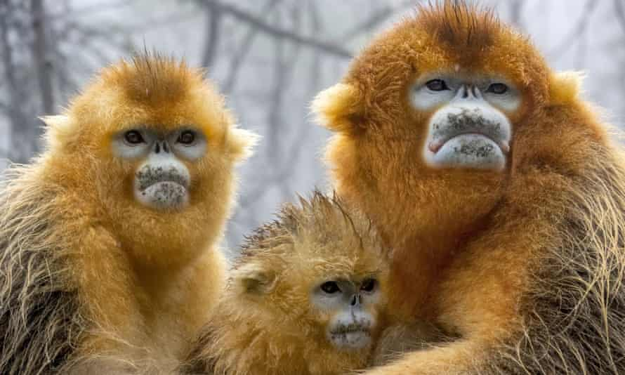 Golden snub-nosed monkeys, central China, filmed for A Perfect Planet.