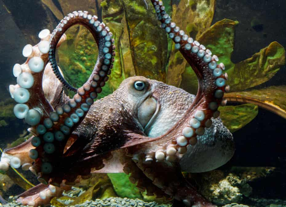 'Inky' the octopus, which escaped from the National Aquarium in New Zealand in 2016 via a drainpipe.