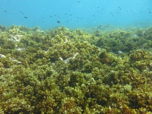 A coral reef dominated by algae in Seychelles