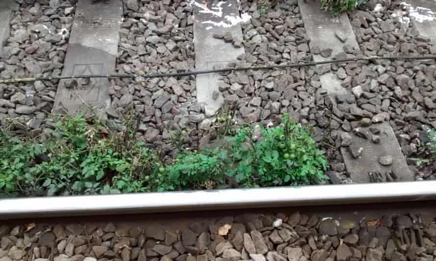Tomatoes growing on the tracks at Swindon railway station