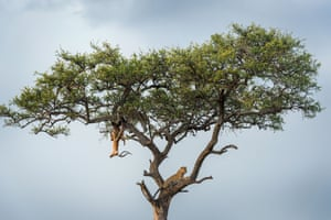 The body of an impala hangs from a tree in Kenya's Maasai Mara