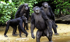 A chimpanzees colony in Liberia.