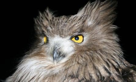 Close up of a Blakiston's fish owl