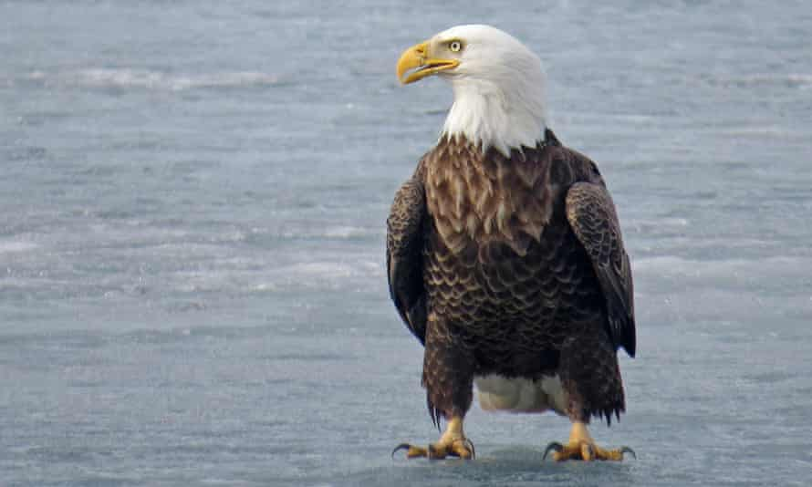 A bald eagle is found on a frozen lake in Luck, Wisconsin, in March 2021.