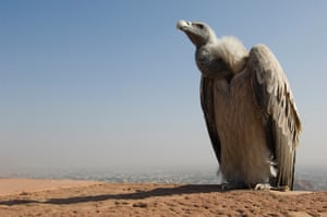 A long-billed vulture (Gyps indicus) on the ramparts of Mehrangarh Fort, Jodhpur, Rajasthan, India. Numbers of the country's carrion-loving birds dropped by more than 97% in the 1990s. Now, a successful breeding scheme is giving them a boost