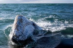 A grey whale at Ojo de Liebre lagoon in Guerrero Negro, Baja California Sur state, Mexico