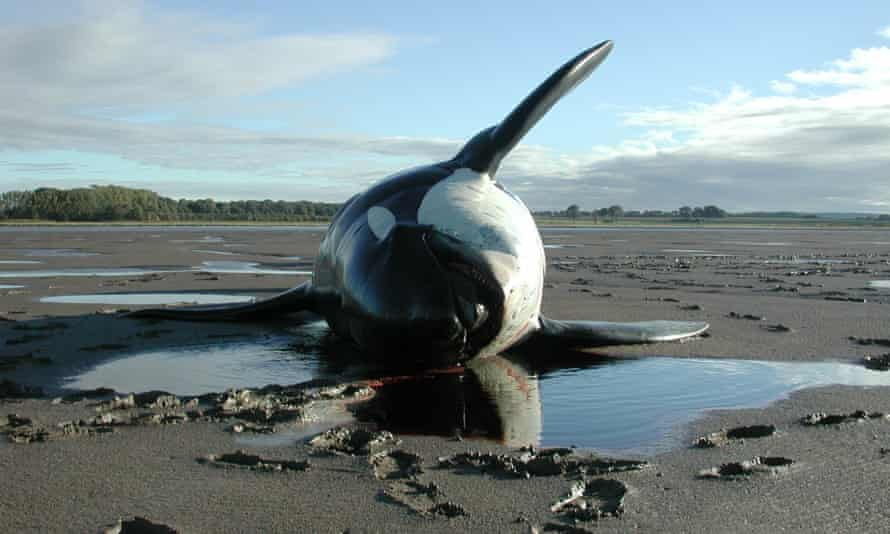 A killer whale stranded by the river Mersey in 2001
