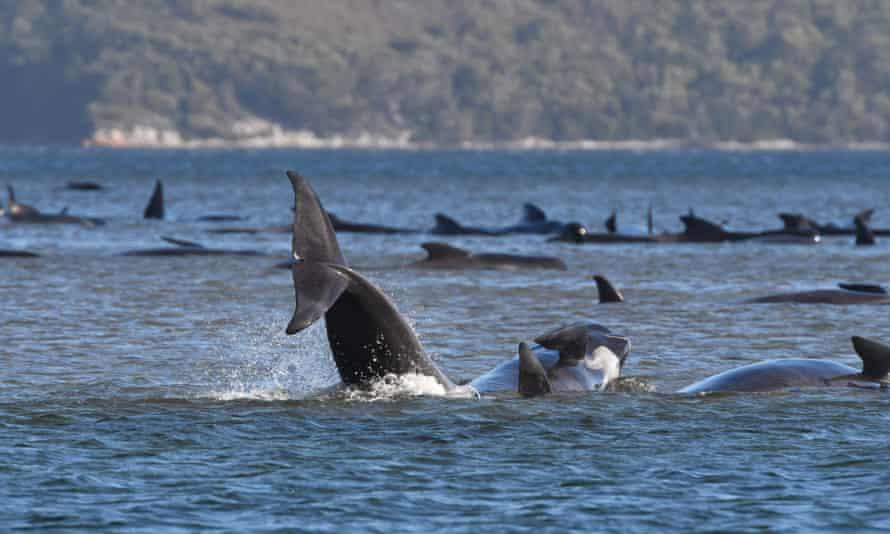 Hundreds of pilot whales are seen stranded on a sand bar near Strahan, Tasmania
