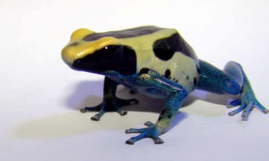 The dyeing dart frog, <em>Dendrobates tinctorius</em>, has a complex mating system.