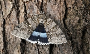 Clifden nonpareil. Its large triangle forewings have grey and beige zigzag patterns and underneath are hindwings of deepest lavender.