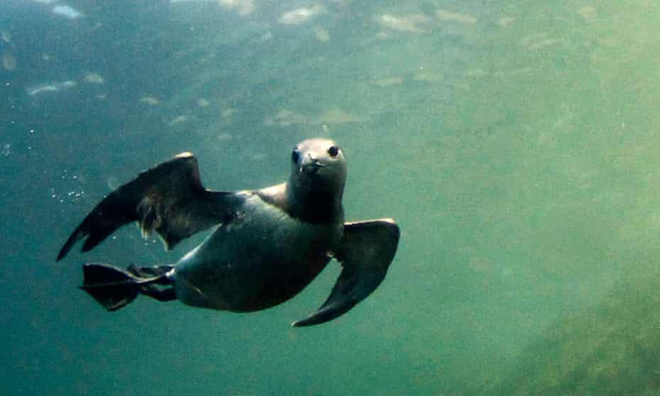 A guillemot under water