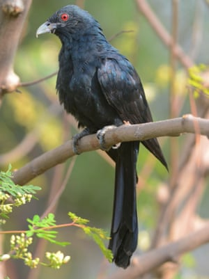 The koel, with its crimson eyes.