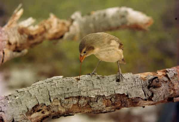 The tool-using woodpecker finch probes a branch with a cactus spine on Plaza Island, Galápagos Islands, Ecuador.