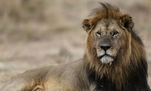 'The lion was historically distributed over most of Africa, southern Europe and the Middle East. Now the vast majority of lion populations are gone.'