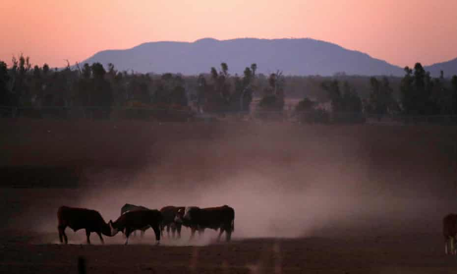 Cattle push each other as they kick-up dust at sunset west of the town of Tamworth